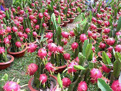 Picture of Dragon Fruit Cuttings